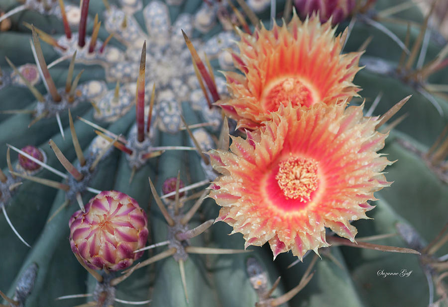 Peach Barrel Cactus Flowers II by Suzanne Gaff