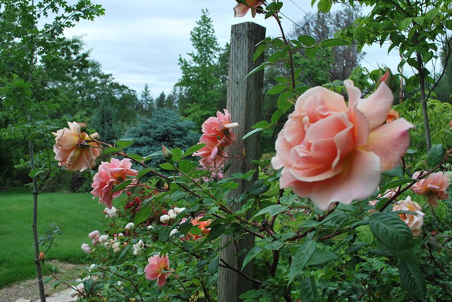 Peach Rose Photograph - Peach Rose by Linda Sramek