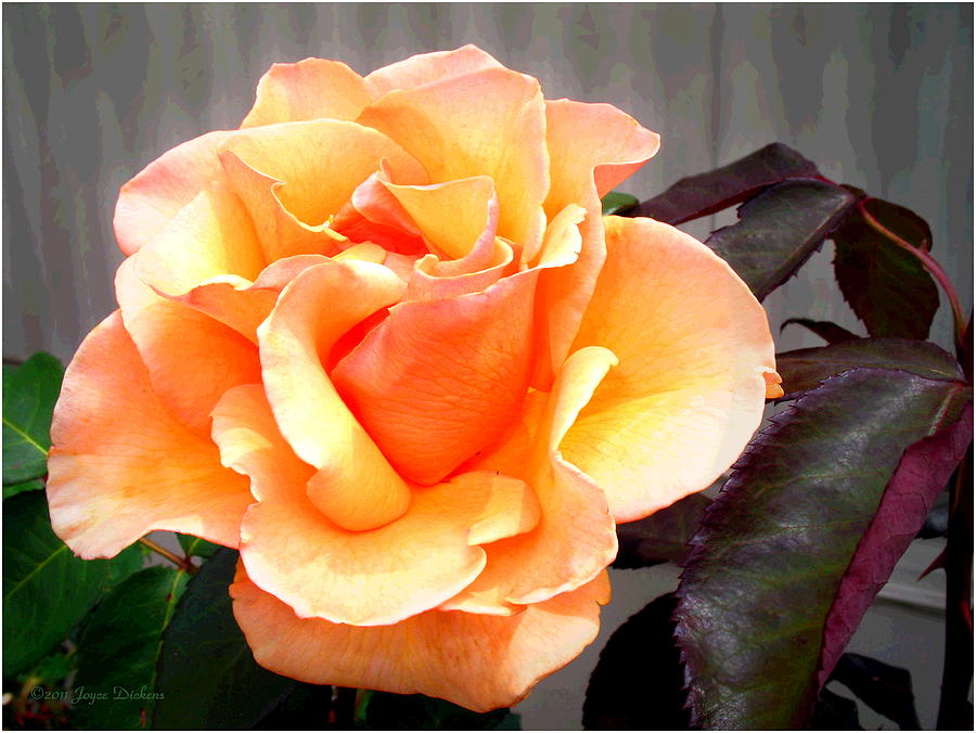 Rose Photograph - Peaches N Cream by Joyce Dickens