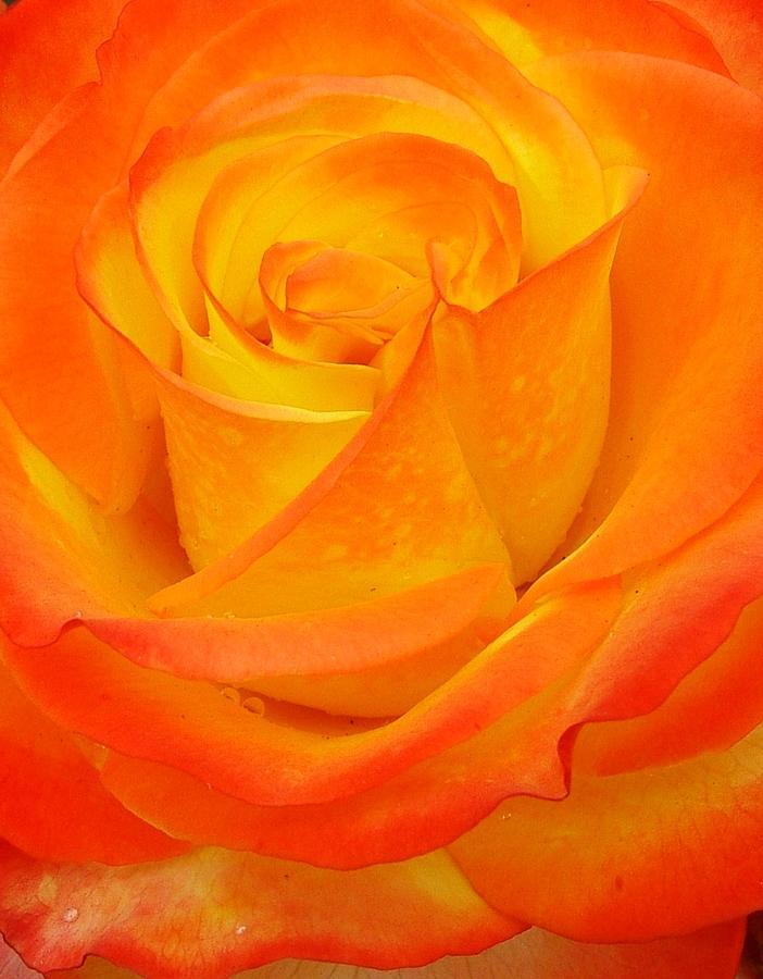 Peachy Rose Photograph by Martina Fagan