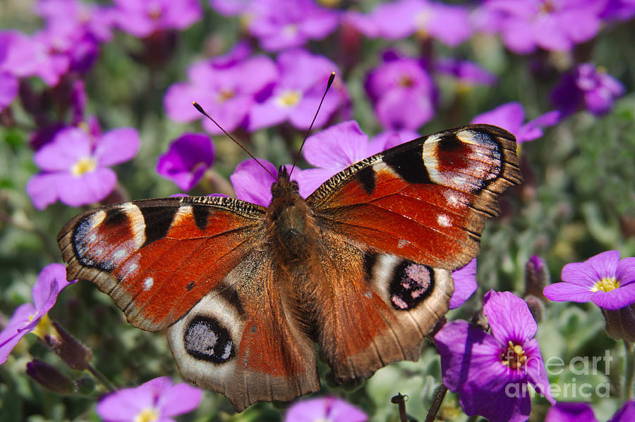 Aglais Photograph - Peacock Butterfly by MSVRVisual Rawshutterbug