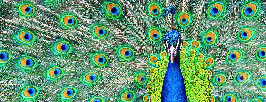 Peacock 2 Pano by Rich Killion