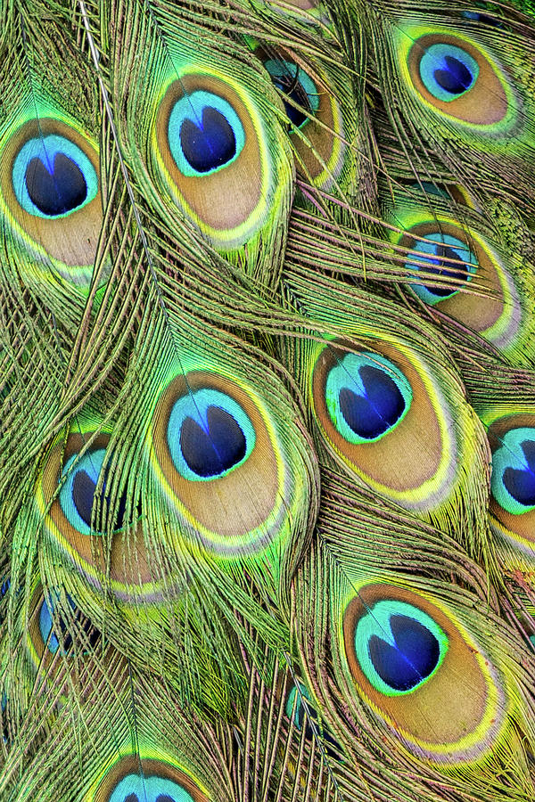 Living Peacock Abstract by Denise Bird