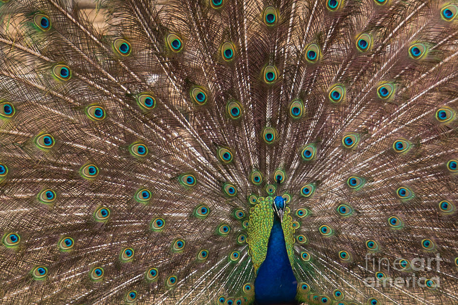 Peacock Photograph - Peacock At The Fort by Lynn Sprowl