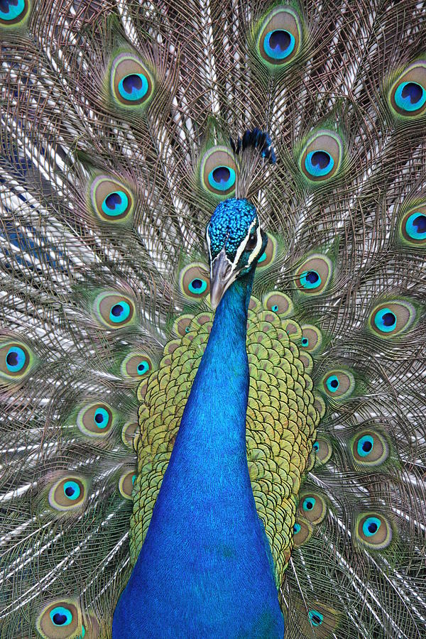 Peacock Photograph - Peacock by Beth Vasquez