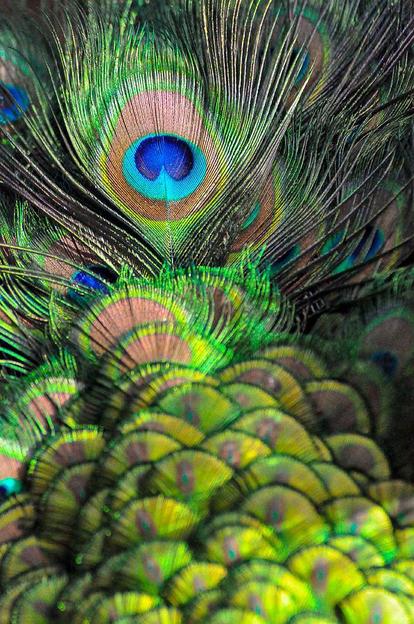 Bird Photograph - Peacock Brilliance by Emilia Brasier