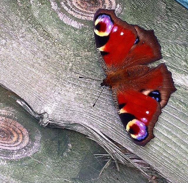 Butterfly Photograph - Peacock Butterfly by Emily Gibbons