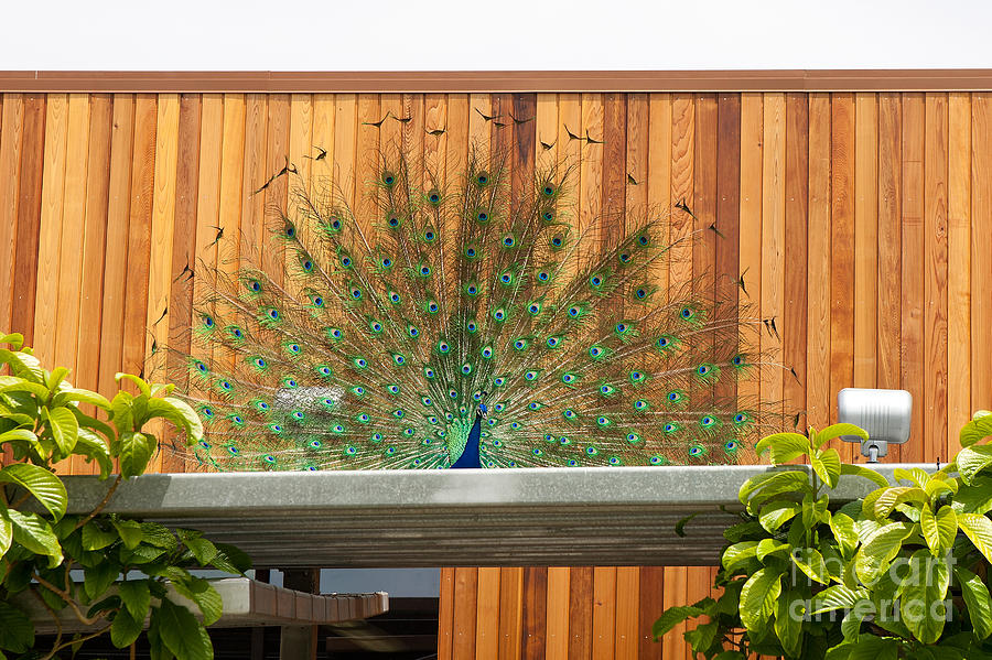 Peacock Displaying On A Building Photograph
