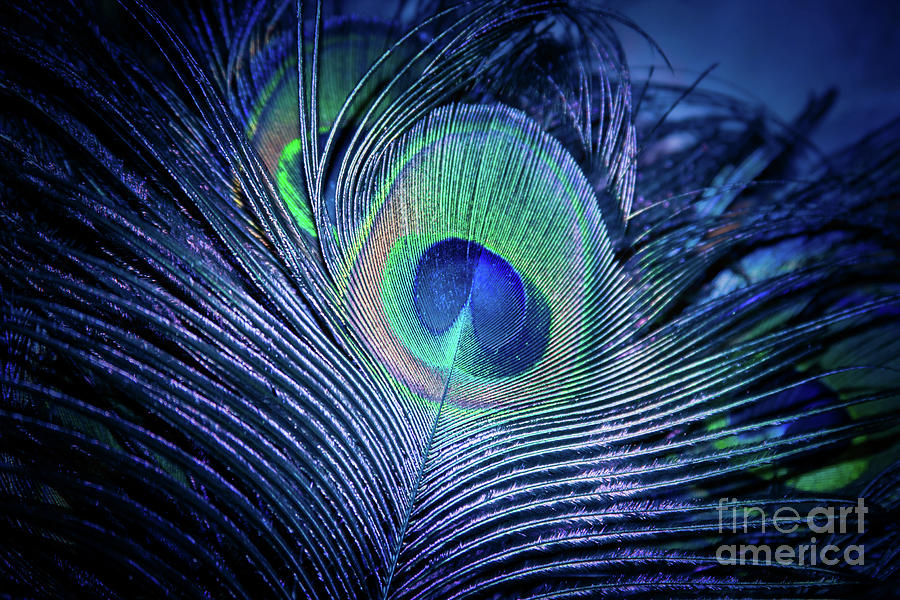Peacock Feather Blush Photograph