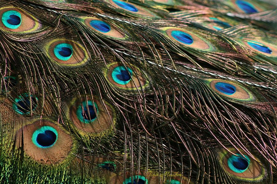 Peacock Photograph - Peacock Feathers by Tina Meador