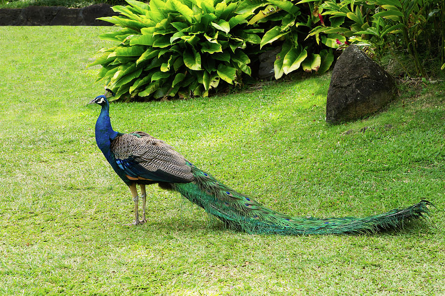 Peacock in a Tropical Garden in Hawaii by Ami Parikh