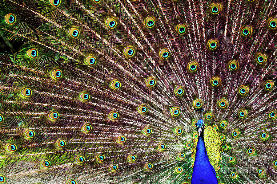 Peacock In Full Display by Marcel van Kammen