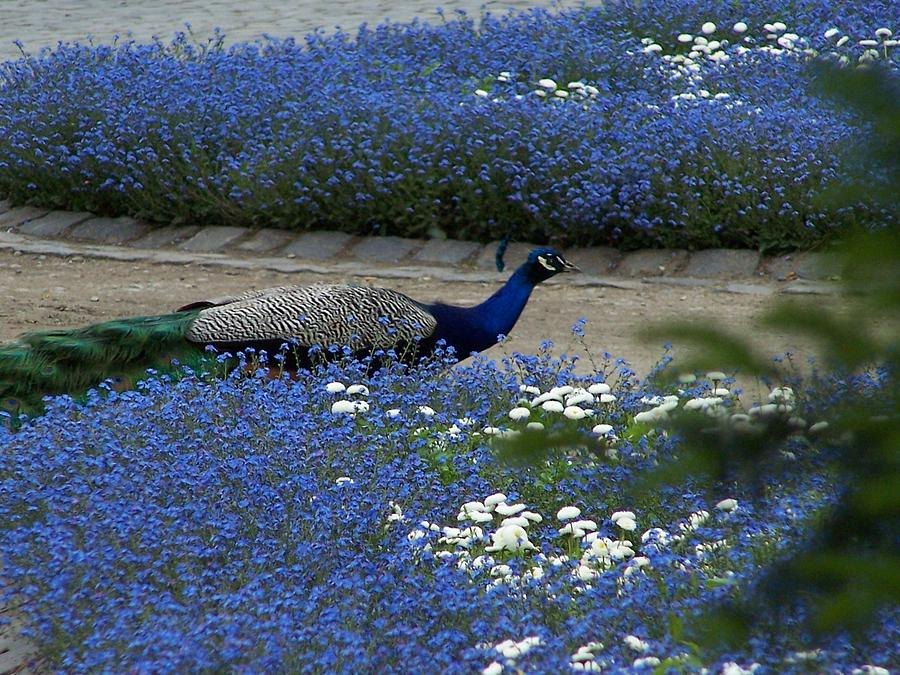 Peacock Photograph - Peacock In Violets by Julie Ringer