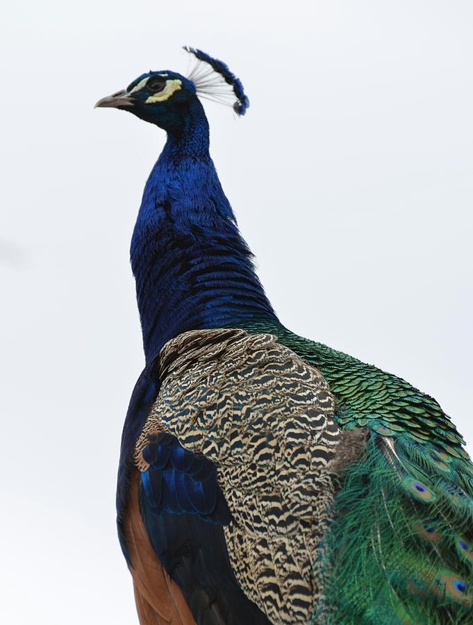 Bird Photograph - Peacock by Paulina Roybal