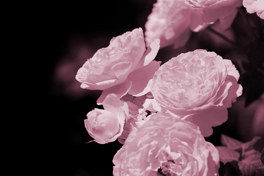 Peacock Photograph - Peacock Pink Cabbage Roses on Black by Colleen Cornelius