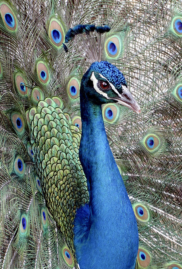 Peacock Portrait by Bob Slitzan