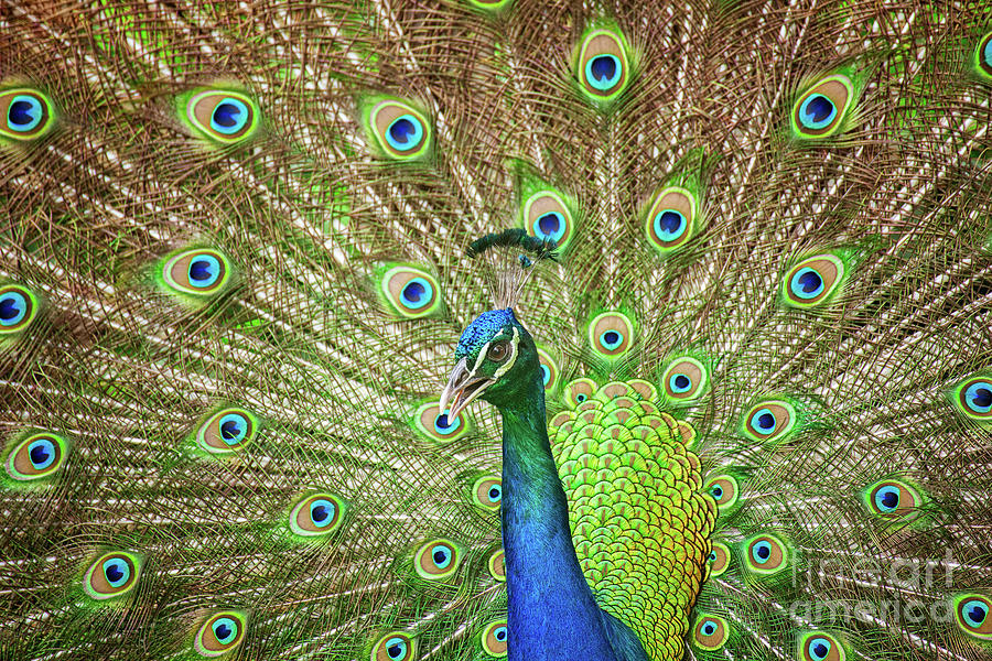 Animal Photograph - Peacock Showing Off by Leslie Banks
