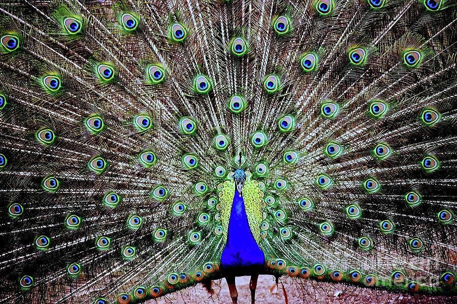 Peacock Photograph - Peacock by Vivian Krug Cotton
