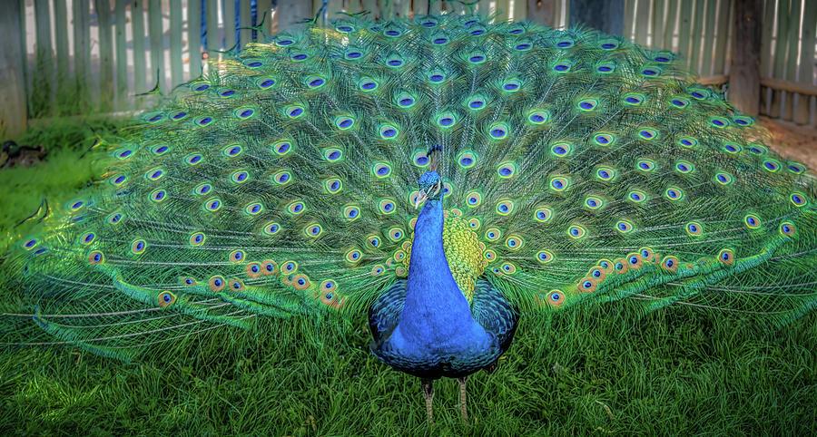 Peacock1 Photograph by Craig Applegarth