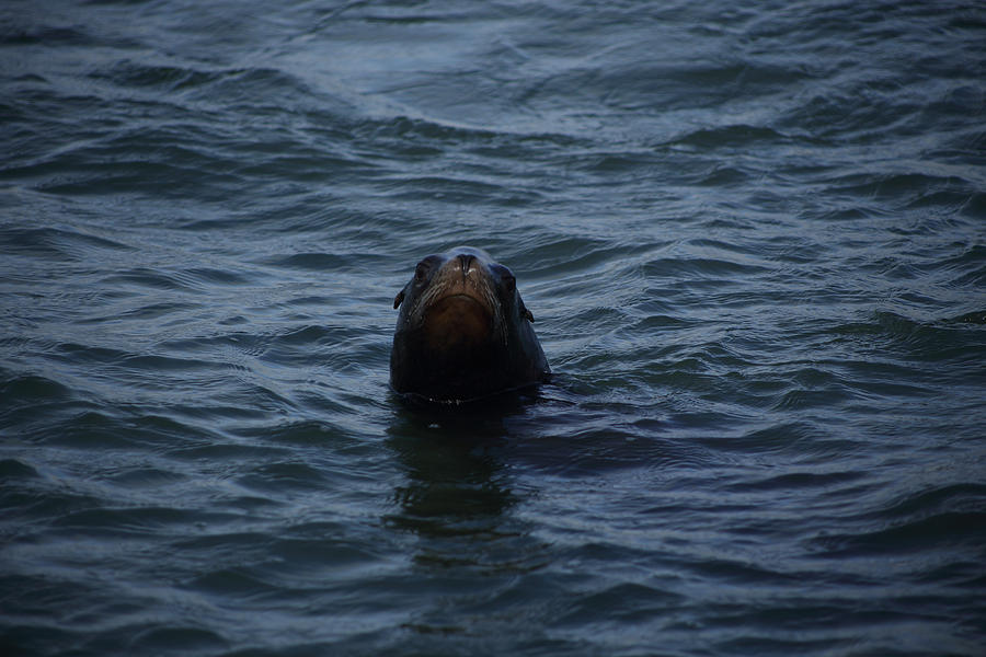 Seal Photograph - Peakaboo by Damien Pennington