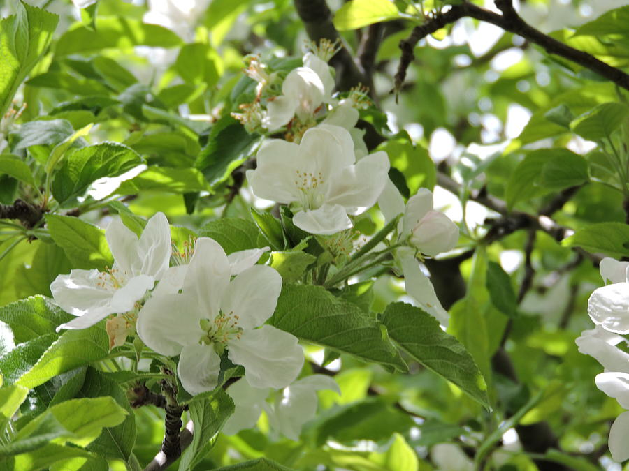 Pear Blossom #1 Photograph by Roberts Photography
