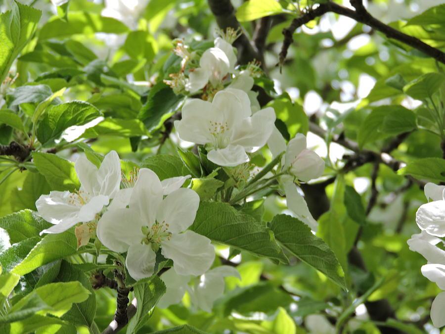Pear Blossom #1 Photograph