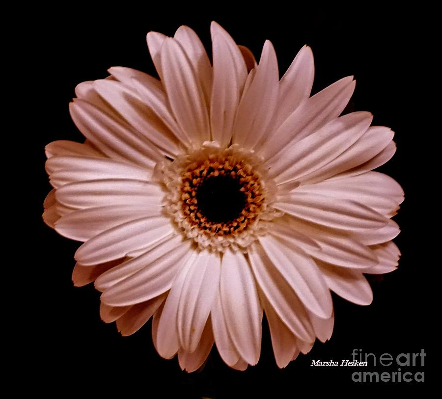 Photo Photograph - Pearl Pink Daisy by Marsha Heiken