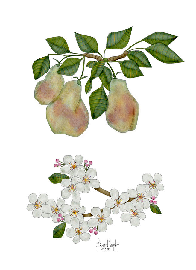 Pears Painting - Pears And Pear Blossoms by Anne Norskog