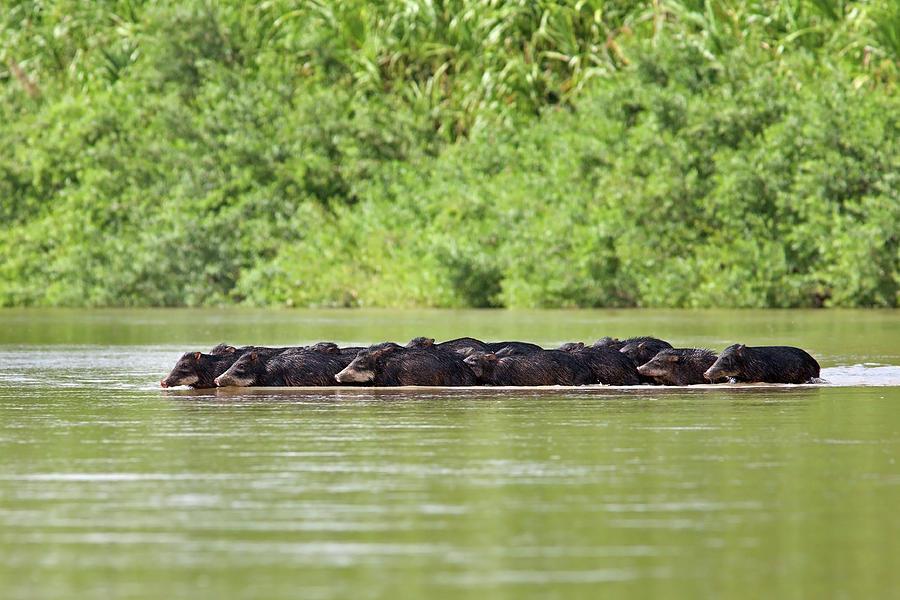 Peccaries Herd Crossing River Photograph