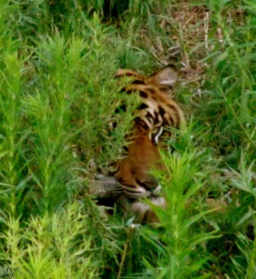 African Tiger Photograph - Peck-a- Booooo by Debra     Vatalaro