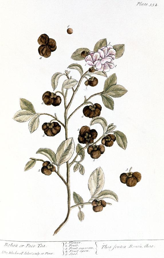 1730s Photograph - Peco Tea, 1735 by Granger