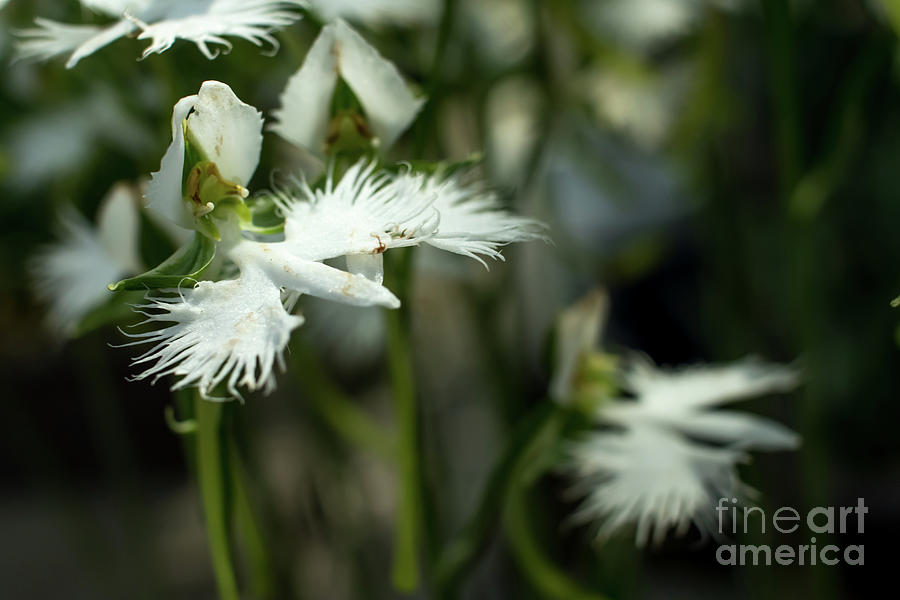Pecteilis radiata sagiso white egret flower white little oech japan photograph pecteilis radiata sagiso white egret flower white little oech by eiko tsuchiya mightylinksfo