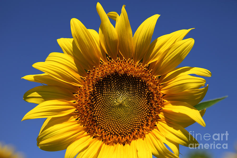Sunflowers Photograph - Peek A Boo by Amanda Barcon