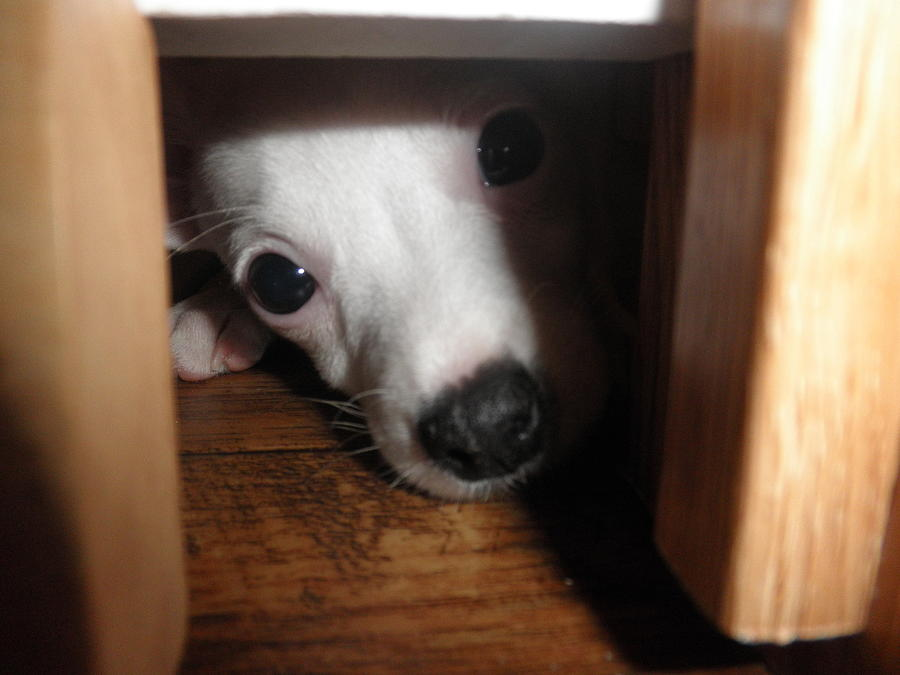 Puppy Photograph - Peek A Boo by Camille Reichardt
