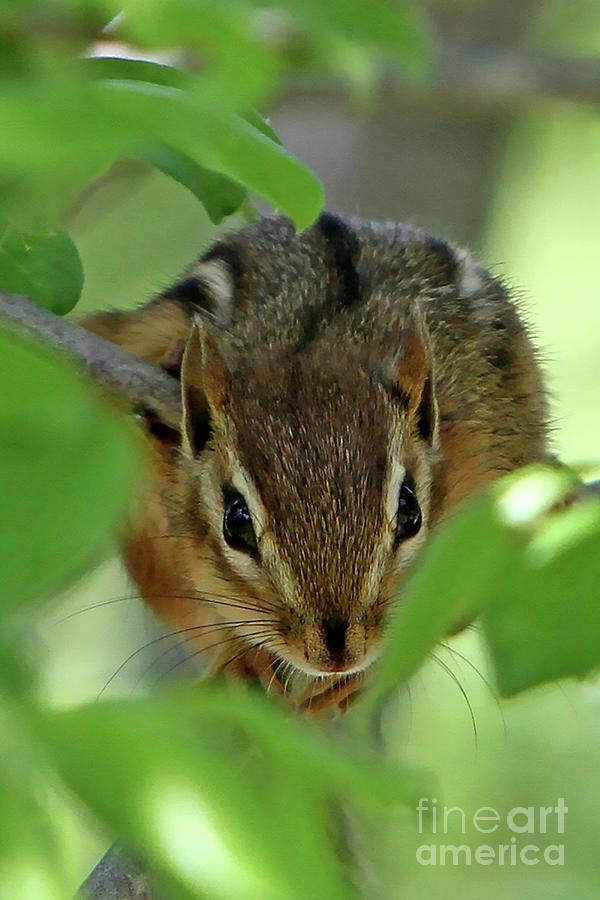 Chipmunk Photograph - Peek A Boo by Marle Nopardi