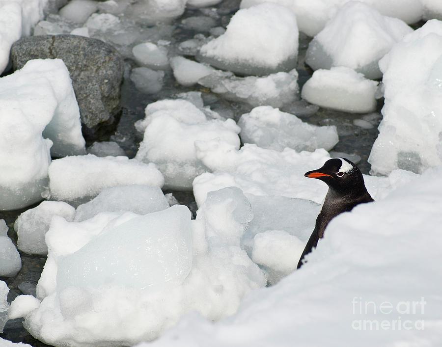 Peek-a-boo Penguin Photograph