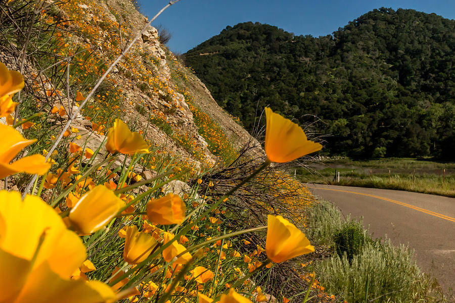 California Poppies Photograph - Peeking Around The Corner by Marnie Patchett