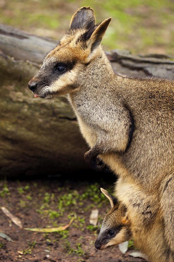 Wallaby Photograph - Peeking At The World by Mike  Dawson