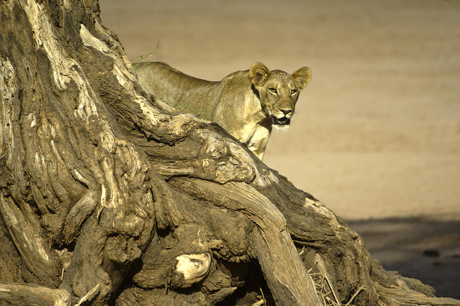 Africa Photograph - Peeking Out by Michele Burgess