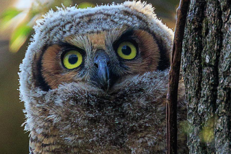 Owl Photograph - Peeking Owlet by Allen Ahner