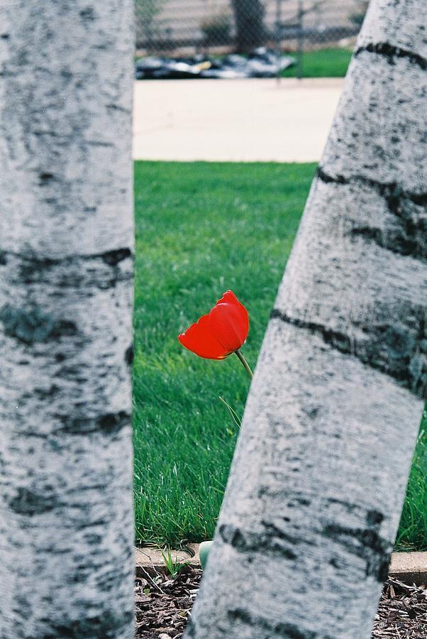 Tulip Photograph - Peeking Tulip by Lauri Novak