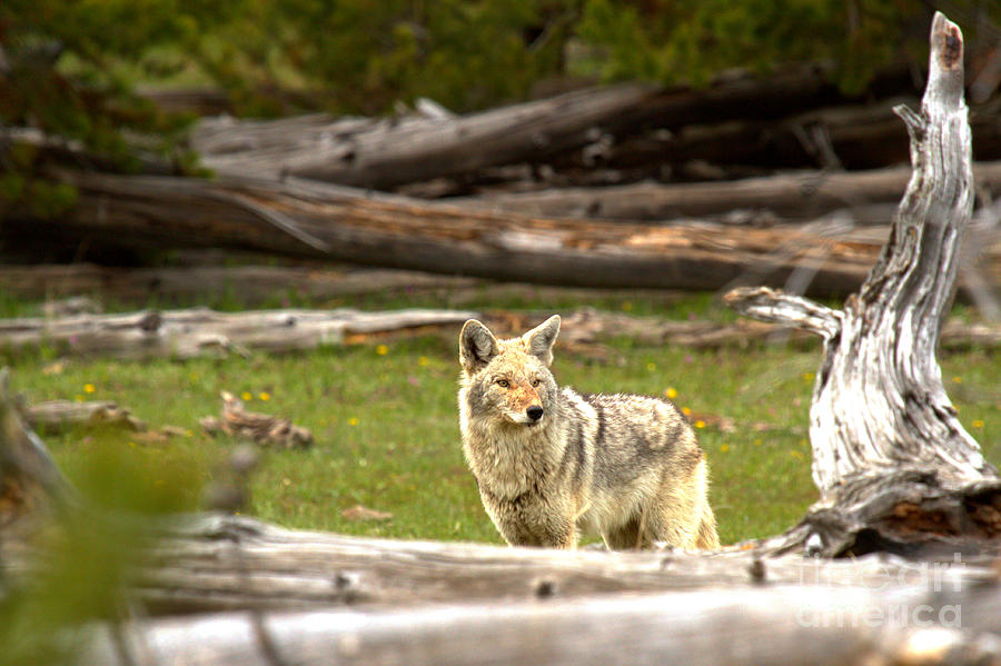 Coyote Photograph - Peering Over The Fallen Logs by Adam Jewell