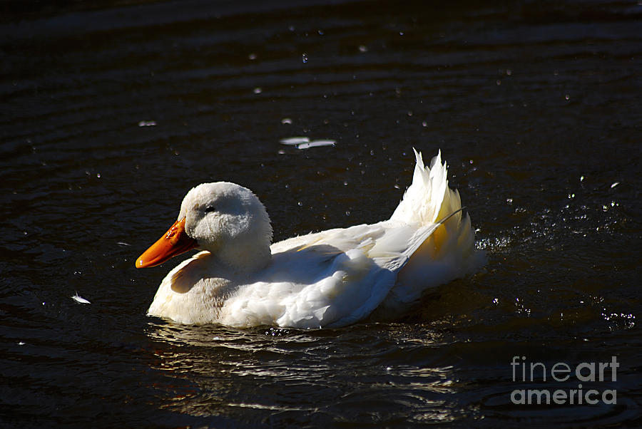 Pekin Duck 20131101_128 Photograph
