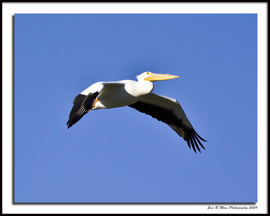 Bird Photograph - Pelican - In Flight by Eric Moss