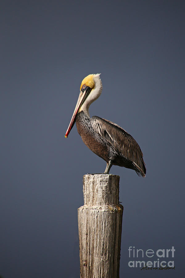 PELICAN AT ATTENTION by Alison Salome