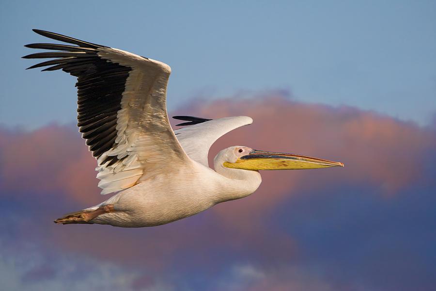 Pelican Photograph - Pelican by Basie Van Zyl