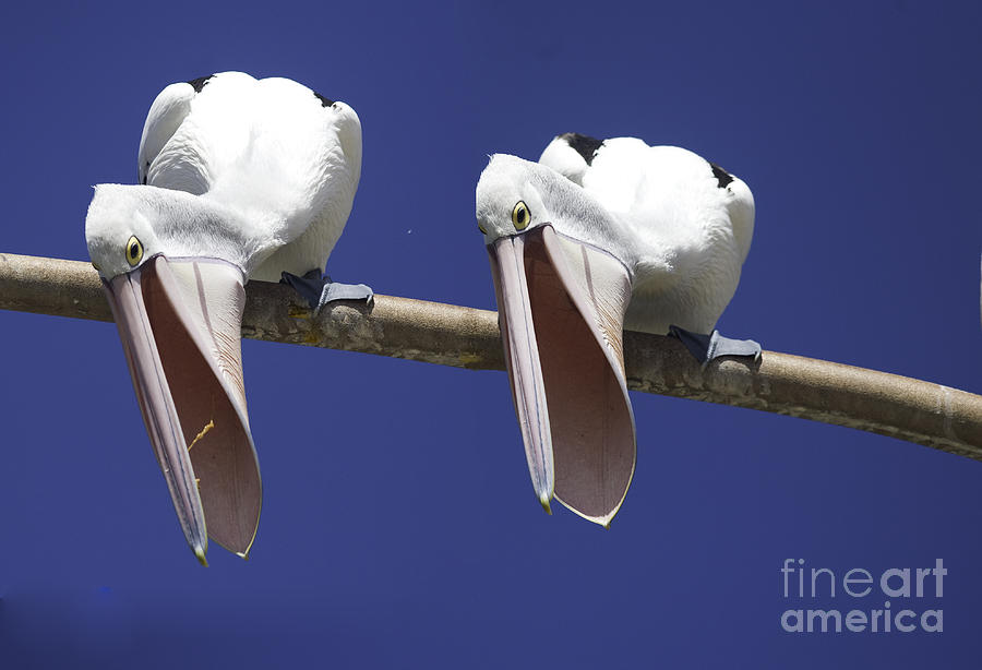Pelican Photograph - Pelican burp by Sheila Smart Fine Art Photography