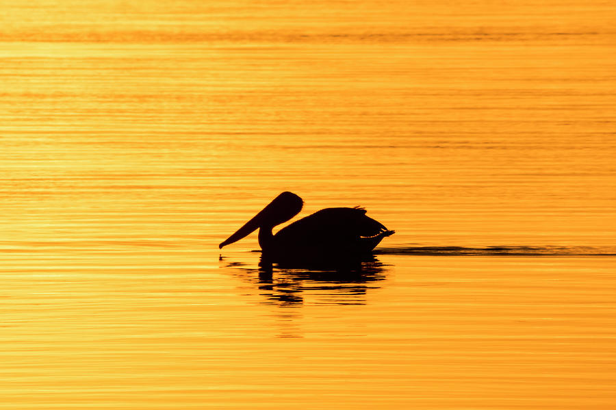 Pelican Cruising at Sunset in Key West by Bob Slitzan