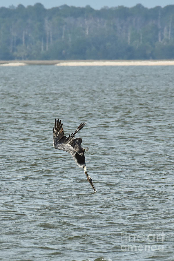 Pelican Diving for Fish by Cynthia Staley