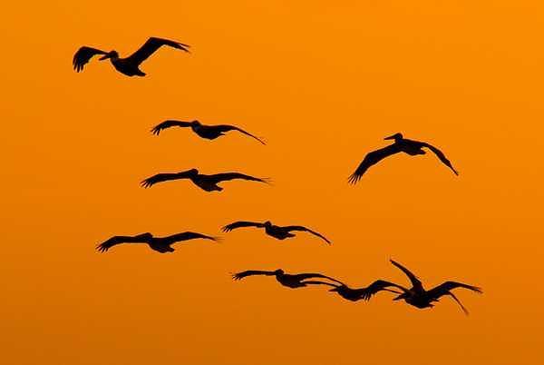 Pelicans Photograph - Pelican Dream by Robert Hill